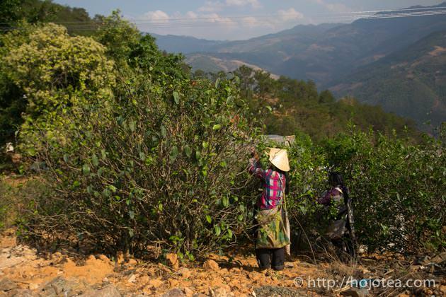 プーアル茶の産地
