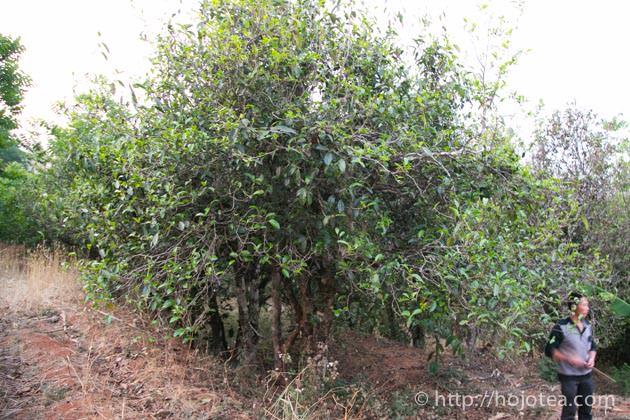 プーアル茶の老木