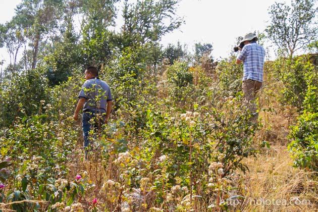 若い自然栽培茶