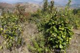 自然栽培のお茶