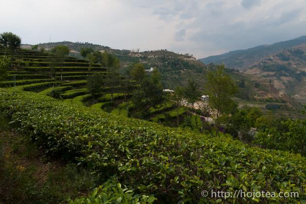 雲南省の緑茶