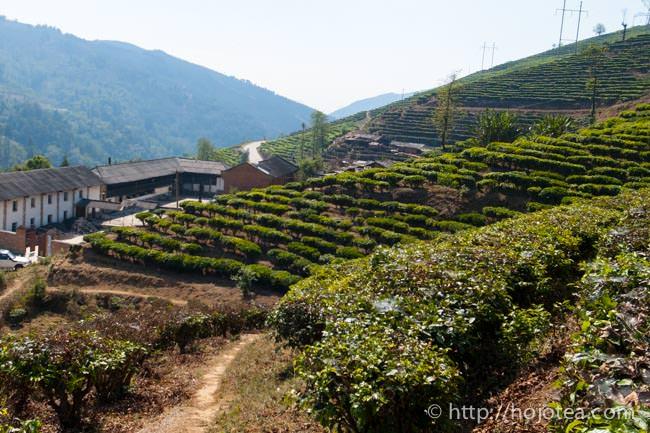 雲南省の茶園