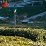 緑茶(日本茶)無農薬・有機栽培茶園