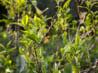 有機茶が健康に良いとは限らない!サステナブルな自然栽培茶とは?